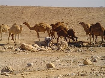 Camels at an Oasis